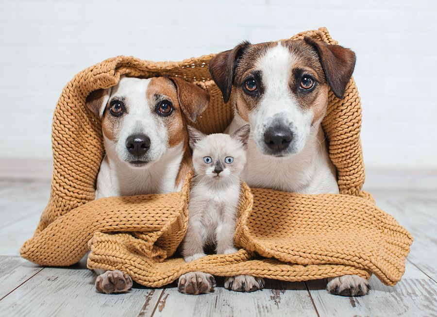 Dogs and cat under the plaid. Dog and kitten at home together